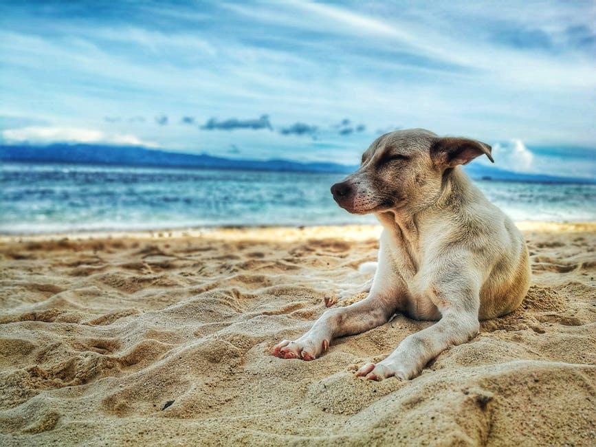 Hund som ligger på strand